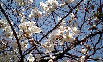 六義園のしだれ桜(アップ)