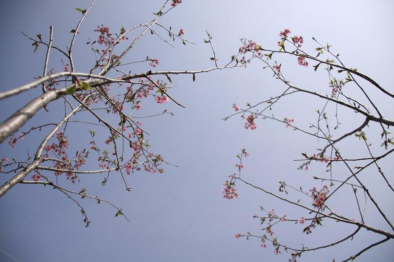 SOLの桜