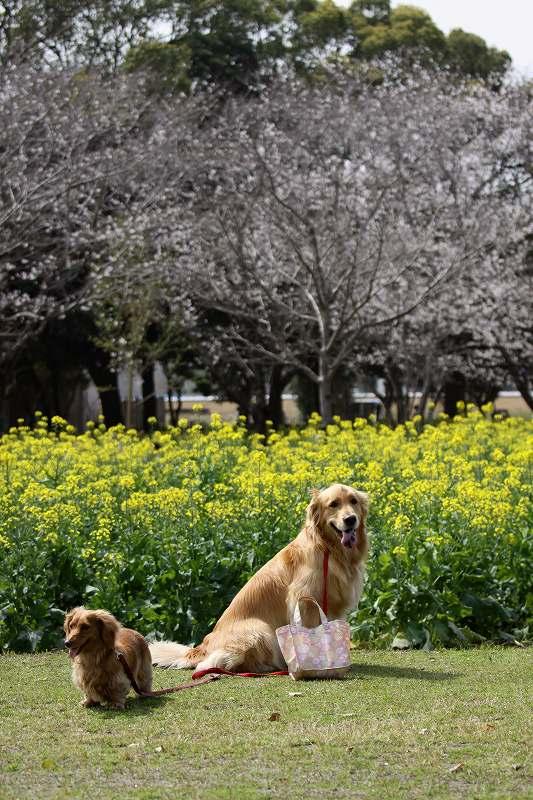 菜の花と桜とワンコ