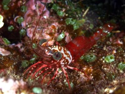 サンゴサラサエビ