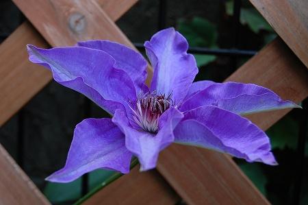 09江戸紫1