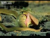 小型の蛇が大きな卵を丸呑みしていく映像