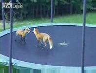 トランポリンでジャンプして遊ぶキツネの映像
