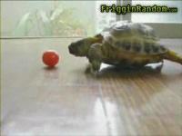 プチトマトをどうしても食べたい陸亀の映像