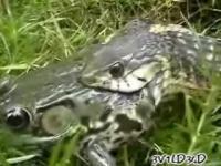 蛇が蛙を丸呑みにする一部始終