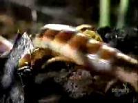 タランチュラを捕食する巨大ムカデの映像