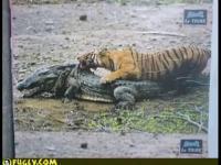 野生のトラ対クロコダイルの死闘