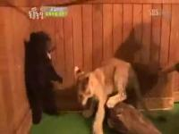 子供ライオンと小熊を対決させる韓国のテレビ