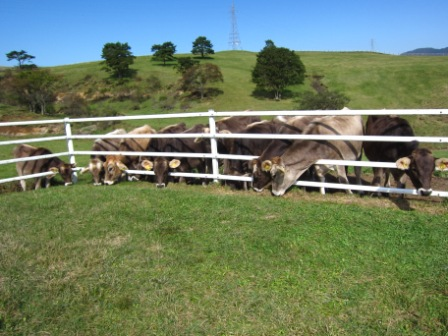 ブラウン スイス牛