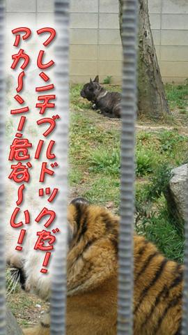 20090430犬虎3