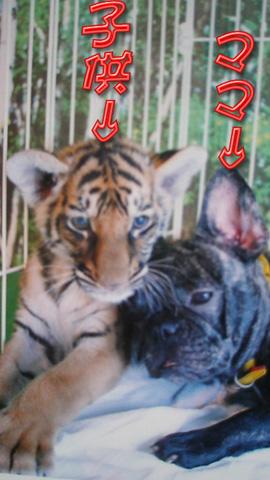 20090430犬虎5