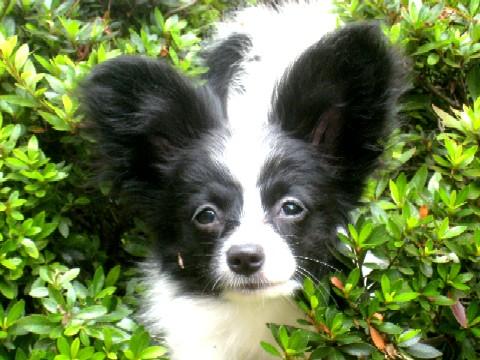 パピヨンらしい?耳