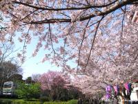 blog_10sakura.jpg