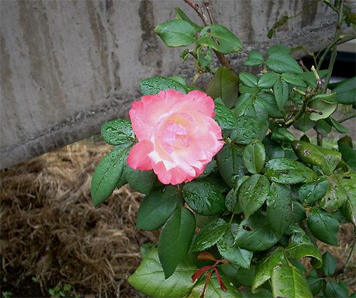 20080921花