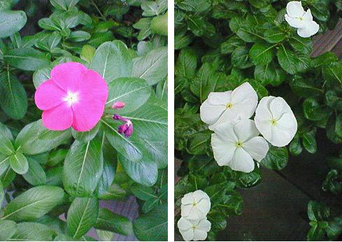 20080929花②