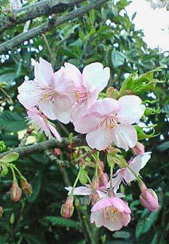 20090215花⑦