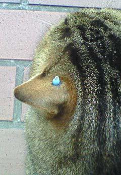 20090224ピアス猫①