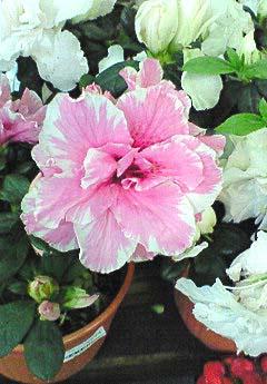 20090219花②