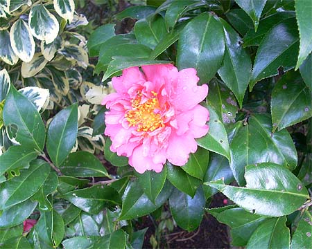 20090320花①