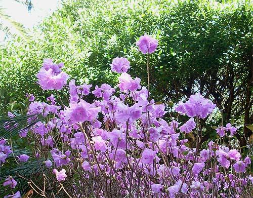20090320花④