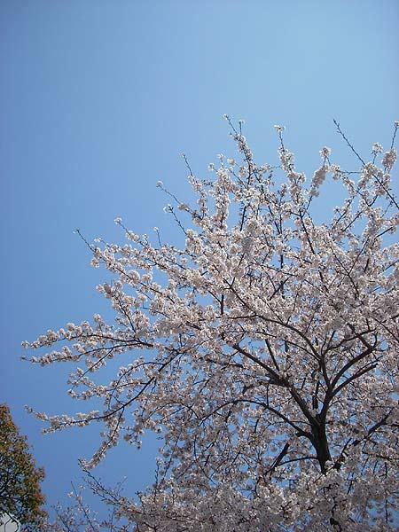 20090406桜①
