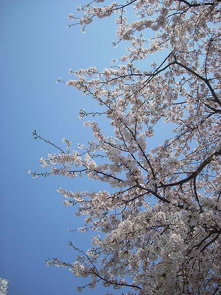 20090406桜④