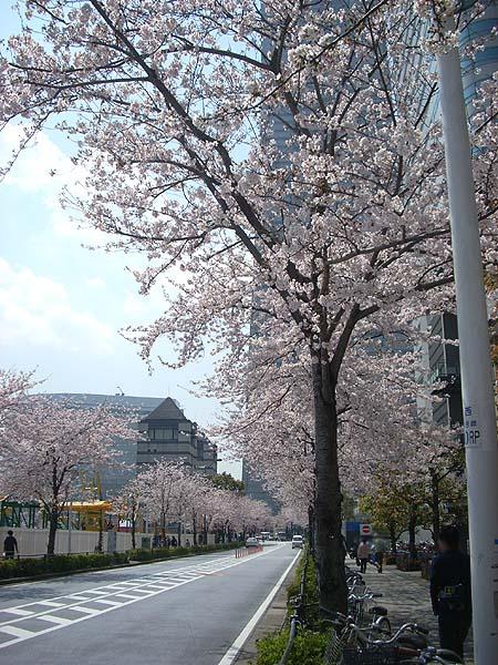 20090406桜⑤