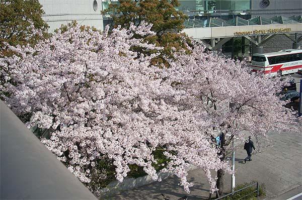 20090406桜⑥