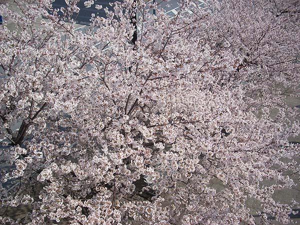 20090406桜⑦