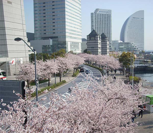 20090406桜⑧