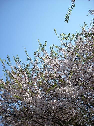 20090411花見①