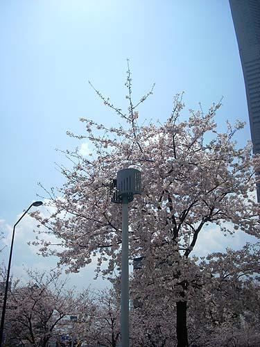 20090406桜と街灯