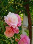ピンクのバラ3