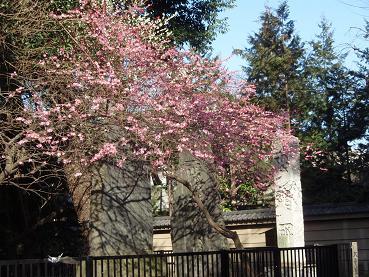 布多天神社の梅2