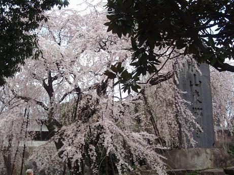 東郷寺のしだれ桜(2)