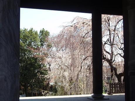 東郷寺山門越しの桜