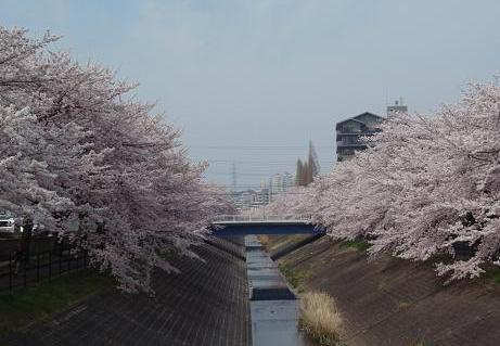乞田川の桜(1)