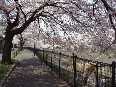乞田川の桜(2)