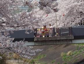 乞田川の桜と保育園児