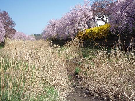 野川のしだれ桜(3)