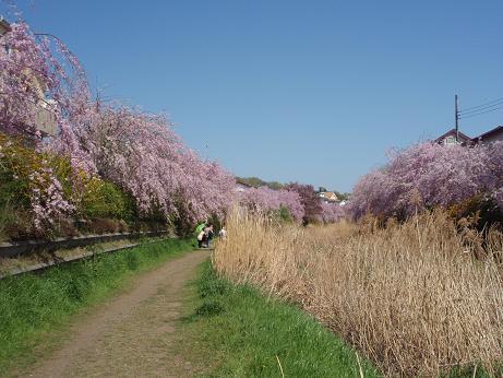 野川のしだれ桜(1)