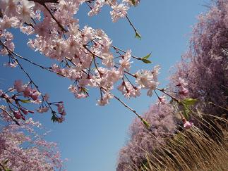 野川のしだれ桜(2)