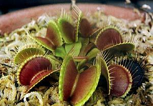 Dionaea(haetorikusa).jpg
