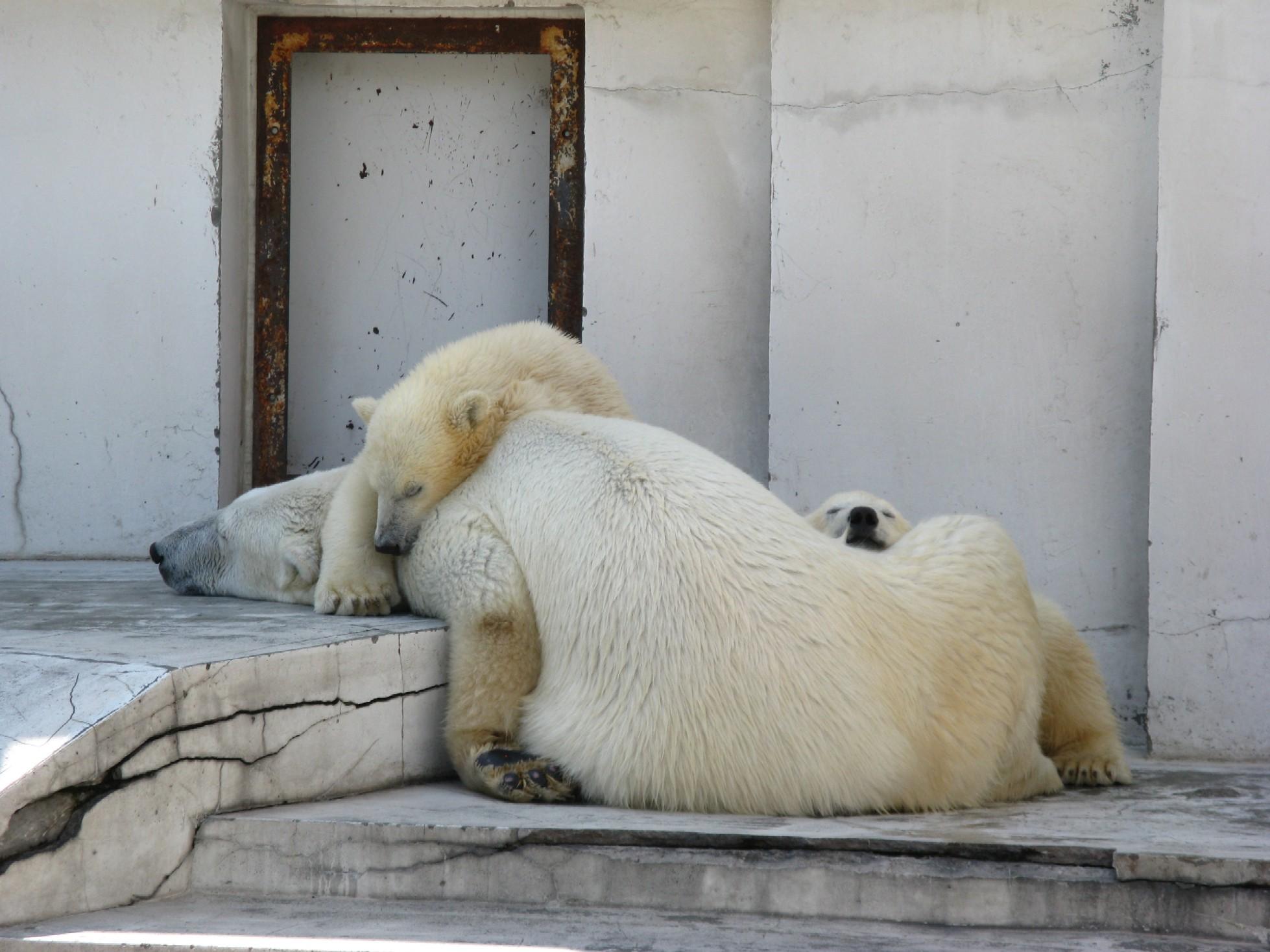 シロクマの昼寝