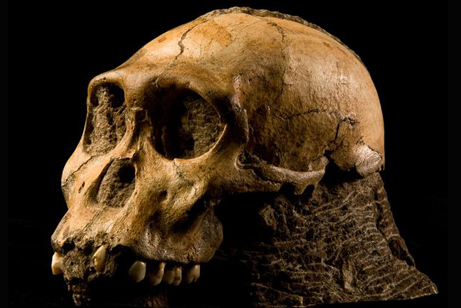 australopithecus-sediba-skull-side-view_18459_big.jpg