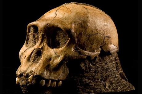 australopithecus-sediba-skull-side-view_18459_big.jpg