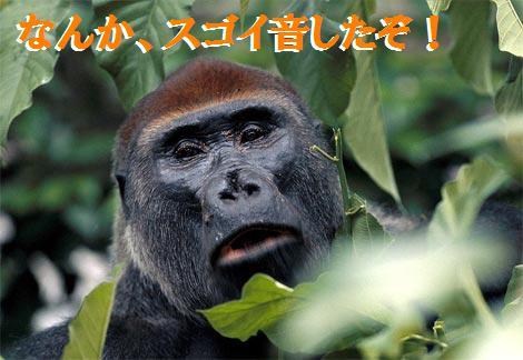 western-lowland-gorilla-looking.jpg