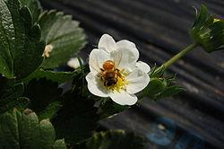 250px-Strawberry_flower_and_bee_convert_20110308195043.jpg