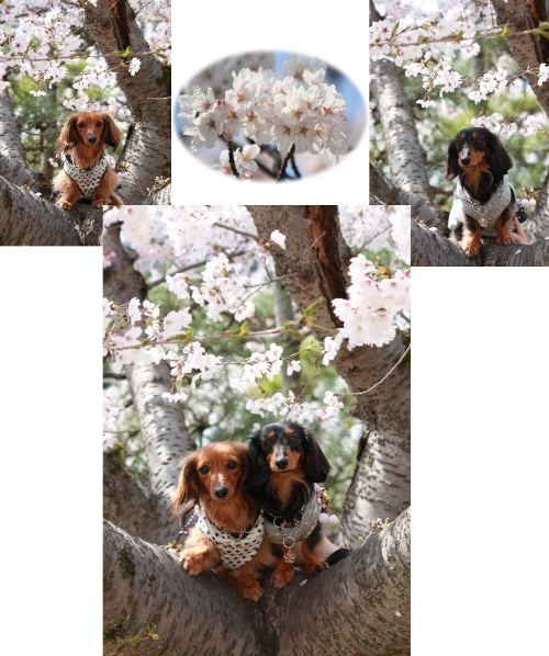 桜と2ショット