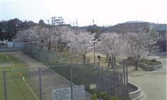 家の裏の公園、桜
